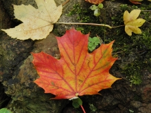 Orange-rotes Ahornblatt am Boden