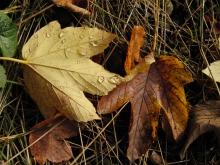 Wassertropfen im Herbstlaub