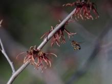 Biene auf dem Weg zur Zaubernuss