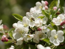 Apfelblüten mit fleißigen Bienen
