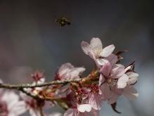 Auf zu den nächsten Kirschblüten
