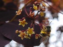Berberisblüte mit Biene