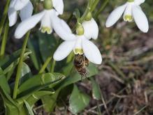 Biene am Schneeglöckchen