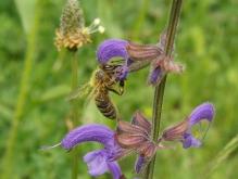 Biene am Wiesensalbei