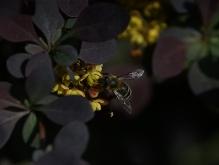 Biene an der Berberis