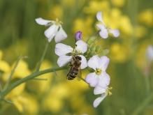 Biene an Kreuzblütler