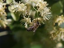 Biene an Lindenblüte