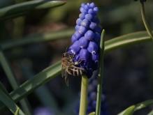 Biene an Traubenhyazinthe