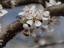 Biene an weißern Kirschblüten