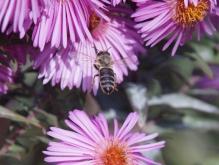 Biene auf dem Weg zur Herbstaster