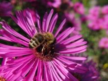 Biene auf Herbstaster (1)