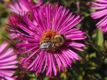 Biene auf Herbstaster (2)