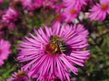 Biene auf Herbstaster (3)