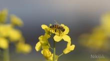 Biene auf Rapsblüte