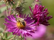 Biene auf rosa Asternblüte