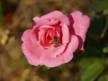 Biene auf Rose im Oktober