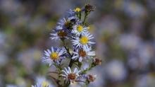 Biene im Herbst auf Astern
