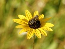 Biene im Herbst auf Sonnenhut