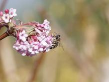 Biene im Vorfrühling