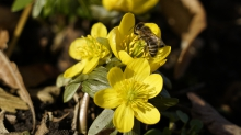 Biene im Winterlingstrio