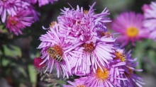 Biene in Asternblüten