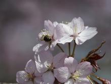 Biene in den Kirschblüten