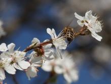 Biene turnt im Blütenzweig