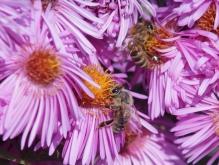 Bienen in Herbstastern