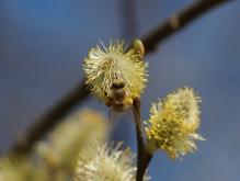 Blühendes Weidenkätzchen mit Biene