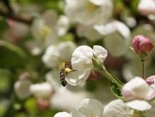 Leckere Apfelblüte
