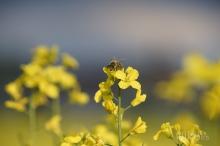 Mein Model die Biene
