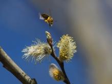 Münchner Biene im Sturzflug