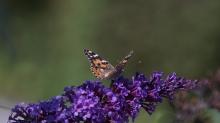 Distelfalter auf lila Sommerflieder