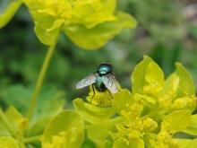 Fliege auf gelber Blume