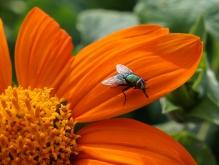Fliege auf oranger Sommerblüte