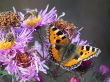 Kleiner Fuchs mit Bienen auf Astern