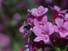 Hummel auf dem Weg zur Blüte