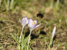 Hummel im Frühlingsflug