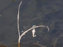 Azurjungfer auf vertrockneten Zweig
