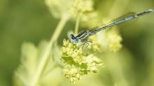 Blaue Federlibelle auf Blüte