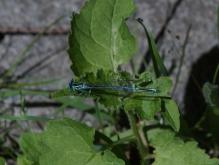 Blaue Jungfer
