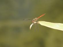 Heidelibelle am ende vom Grasblatt