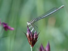 Libelle auf Blütenknospe