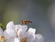 Schwebfliege auf Apfelblüte