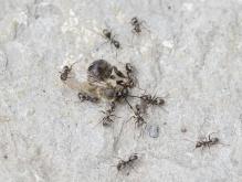 Ameisen mit toter Biene