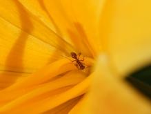 Kleine braune Ameise