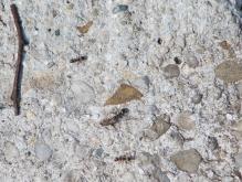 Steinharte Arbeit (Ameisen)