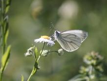 Bergweißling auf weißer Sommerblüte