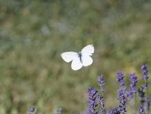 Fliegender Kohlweißling