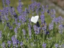 Kohlweißling beim Flug durch den Lavendel